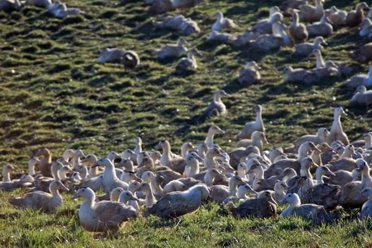 Duck breeding (photo rural coordination)