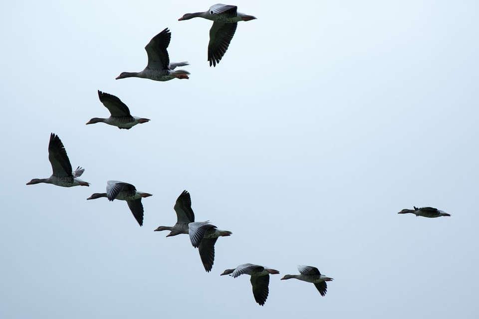 wild geese (Pixabay)