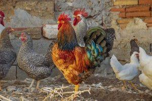 poultry (pixabay)
