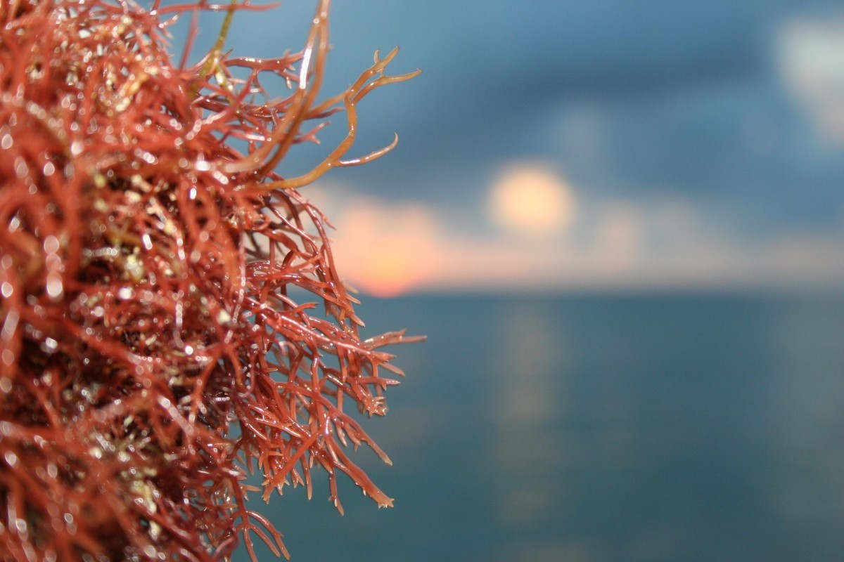 The candidate molecule is a sulfated polysaccharide found in certain species of red algae (Photo CCO Public Domain)