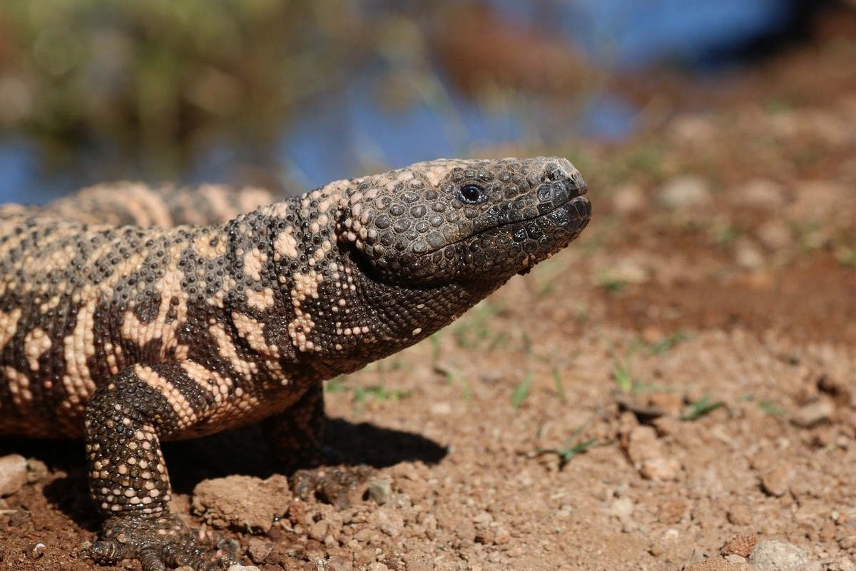 The Gila monster, a North American lizard whose venom component can treat diabetes (Piaxabay)